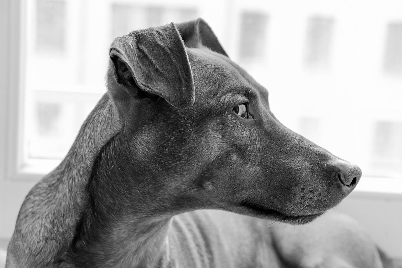 dog, breed, portrait